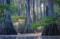Кипарисы на озере Каддо в Техасе, США