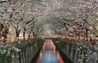 Цветущая сакура вдоль реки Мэгуро, Токио