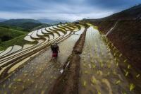 Рисовые поля в Тайланде