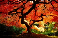 Japanese maple fall