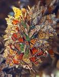 Бабочки Данаида-монарх. Штат Мичоакан, Мексика