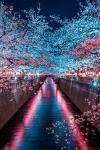 Цветущая сакура, Япония